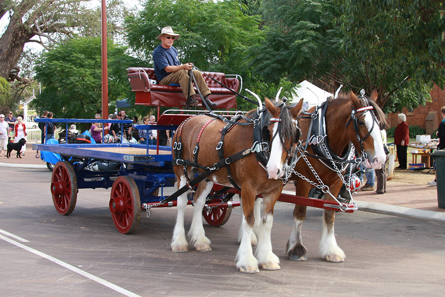 Clydesdales giving cart rides in Stirling Terrace