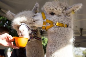 "The alpacas take ""tea"""